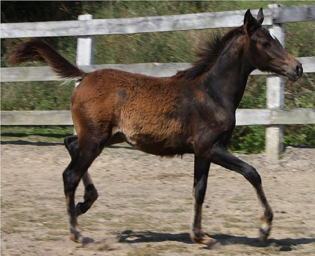 Black filly,  MSF ORACLE