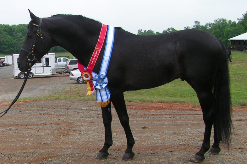 Pyramid Society Straight Egyptian, Sheykh Obeyd, Heirloom Egyptian homozygous black stallion