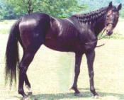 KING SHAMONG, sire of MSF Abbey Road, MSF Country Lane, MSF Superstishun, MSF Isola Bela, & MSF Isola Imagine